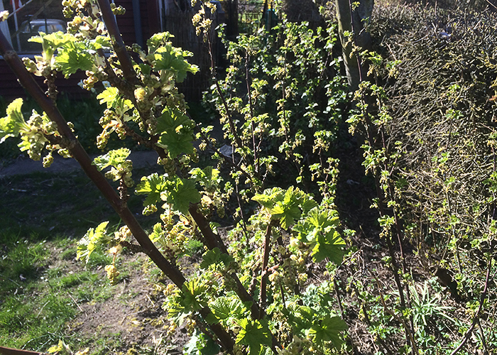 Duerne håber på ribs, og solsortene håber på solbær